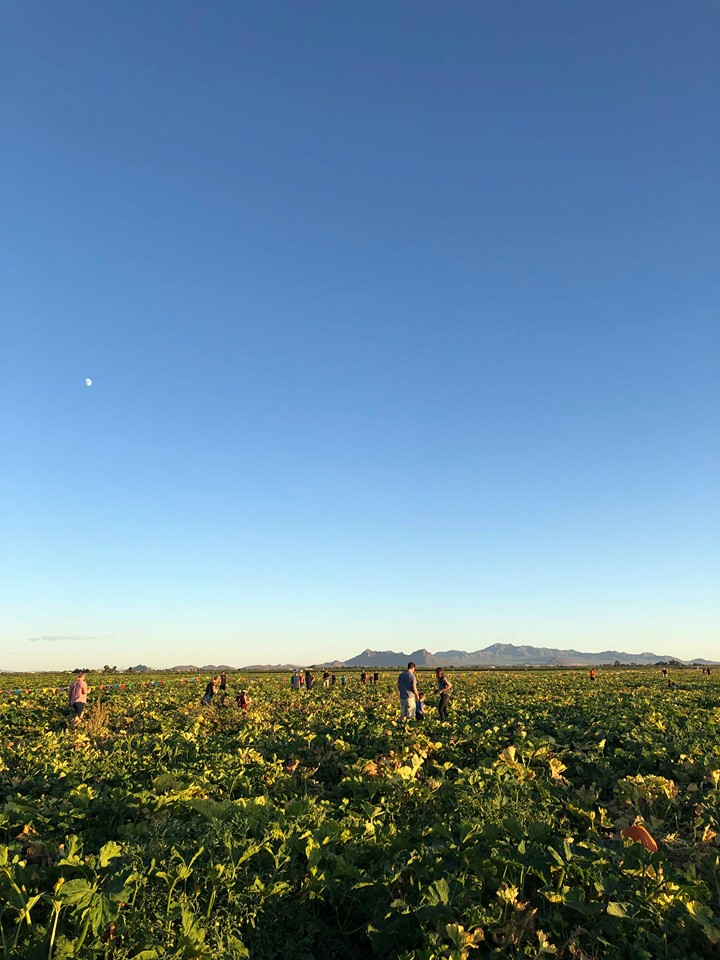 People pick pumpkins in the distance at the Marana Pumpkin Patch in Marana, Arizona. The sky is a twilight blue with the moon visible.