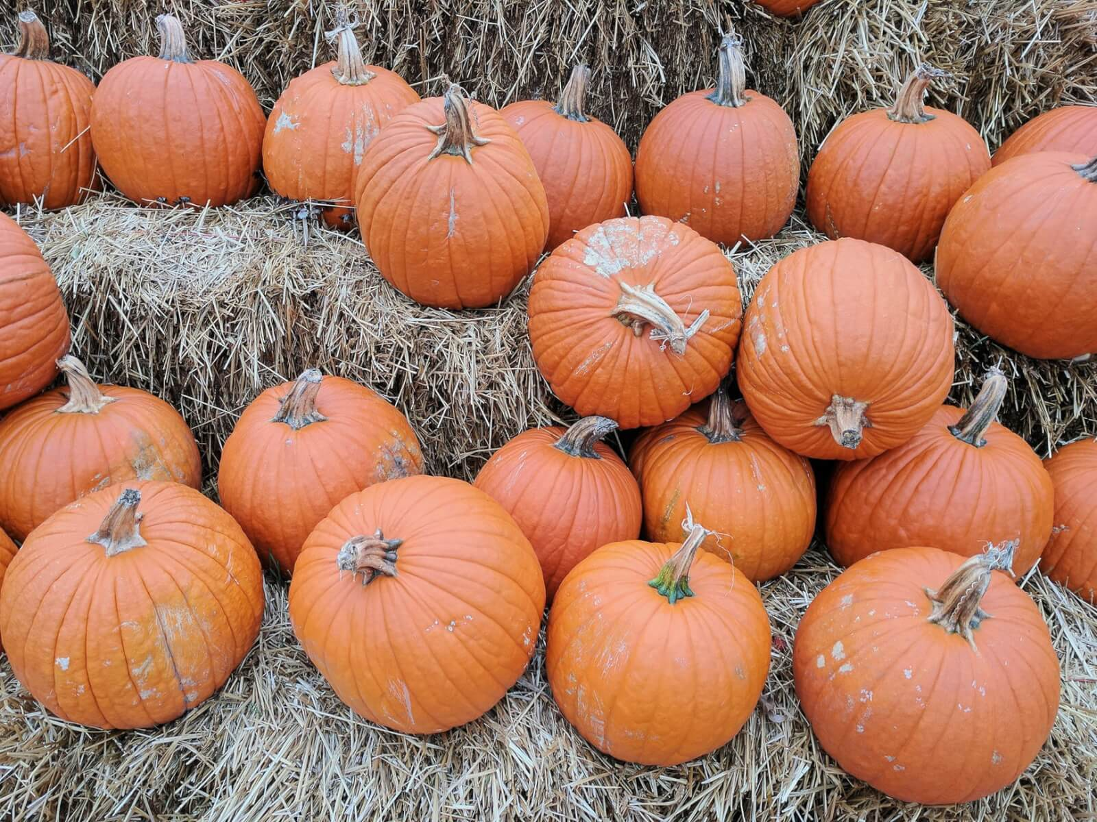 Big, orange pumpkins sit atop hay bales at a pumpkin patch.