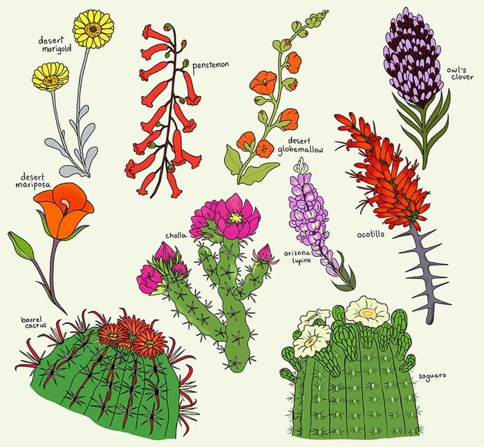 Artist sketches of different types of spring blooms found in Tucson, Arizona